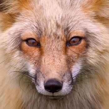 Άγρια κόκκινη αλεπού