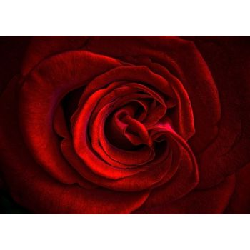 Πέταλα κόκκινου τριαντάφυλλου