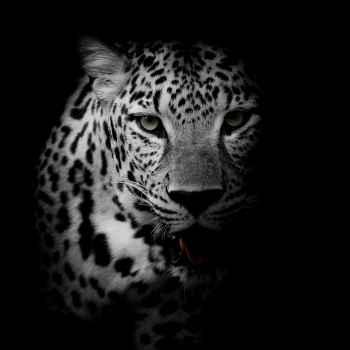 Πορτρέτο λεοπάρδαλης