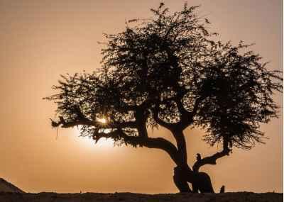 Δέντρο ελιάς στην Αίγυπτο