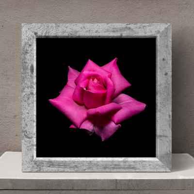 Ροζ τριαντάφυλλο σε μαύρο φόντο